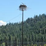 Osprey on antenna.